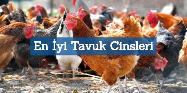 En Çok Yumurta Veren 11 Tavuk Cinsi: Tavuk Çiftliği İçin
